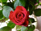 Project 52..Red rose