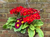 Project 52 - Pollyanthis in hanging basket