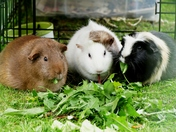 Jane, Daisy and Topsy the pet Guinea Pigs.(photo challenge)