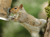 The acrobatic Grey squirrel.(photo challenge)