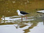black winged stilt at pensthorpe natural park