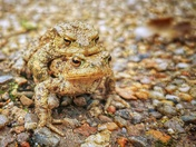 Mating toads at Sheringham Park