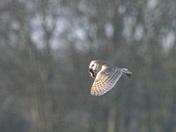 Barn owl with breakfast