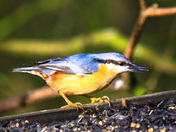 Feeding time for Nuthatch