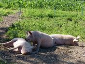 PROJ 52. SHADOWS, OVER THE PIGS