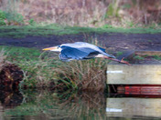 Herons lurking around fishing ponds