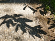 PROJ 52, SHADOWS, OF RHODODENDRON LEAVES