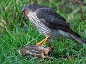 Sparrow hawk with French partridge