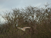 Local barn owl