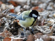 Great Tit at Catton Park
