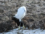 Egret at Titchwell
