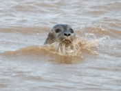 Seal at Titchwell