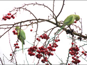 Ring necked parakeets in our garden