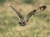 Short-Eared Owl on the hunt.