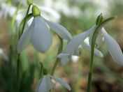 Snow drops at Marks Hall Arboretum