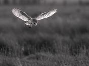 Barn owl. Project 52