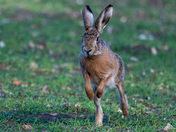 Frolicking Hare