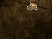A Barn Owl carries home dinner in his talons at Sunset