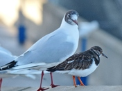 GULL AND TURNSTONE, LITTLE AND LARGE