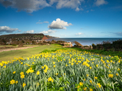 Early Daffodils at Sidmouth