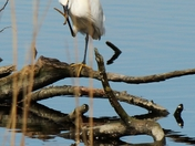 Little Egret preening