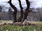 Climbing sheep.
