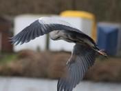 Illusive Heron