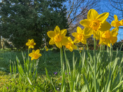 Spring sunshine and daffodils in Thorpe St Andrew