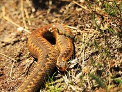 Young Adder sunning it's self