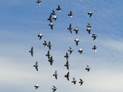 Pigeons in flight.(challenge)