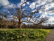 The Oriental Plane Tree at Blickling