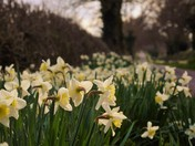 Horning Daffodill Mile