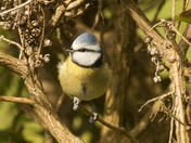 Blue Tit in the sunshine