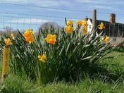 Thriplow Daffodills