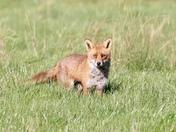 Beautiful fox in the early morning sunshine