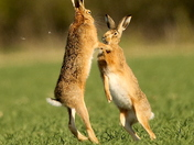 Boxing Hares.