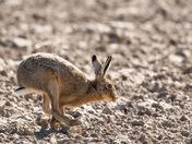 Hemblington Hares