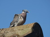 Pigeon enjoying the Sunshine