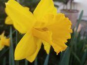 the daffodil of hope