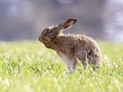 Hare at sunrise