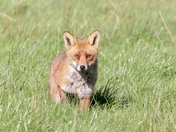 Fox in the early morning sunshine