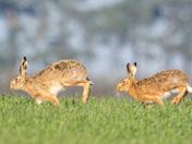 Just hare'n around...