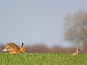 The Partridge & the Hare!