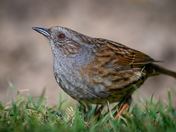 Lockdown with a Dunnock