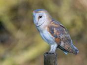 Barn Owl, East Rudham