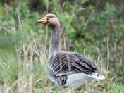 Greylag geese at Holkham