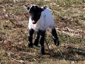 2020 Spring lamb.