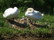 Project 52 swan family