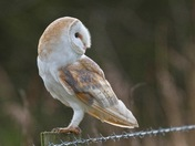 A Barn Owl close-up