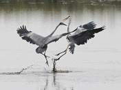Herons battle it out.
